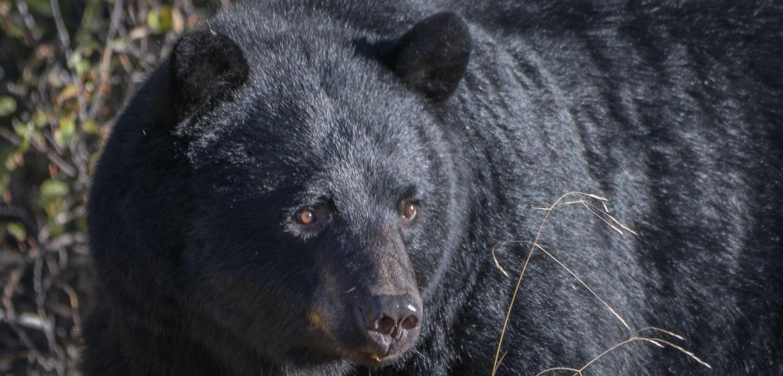 Zwarte beer - Robert Lefevre