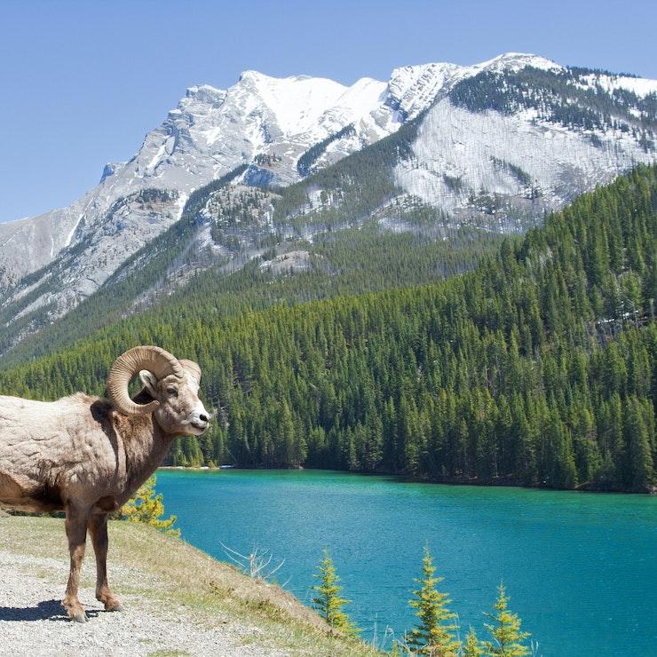 Grote hoorn schapen, Lake Minnewanka, Banff Nationaal Park