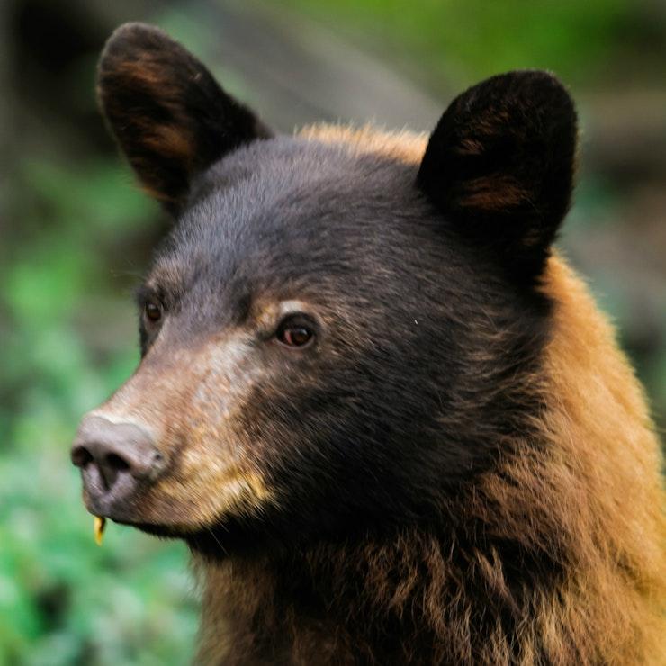 Zwarte beer, Kananaskis Country