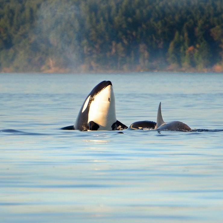 Orka Vancouver Island, Victoria