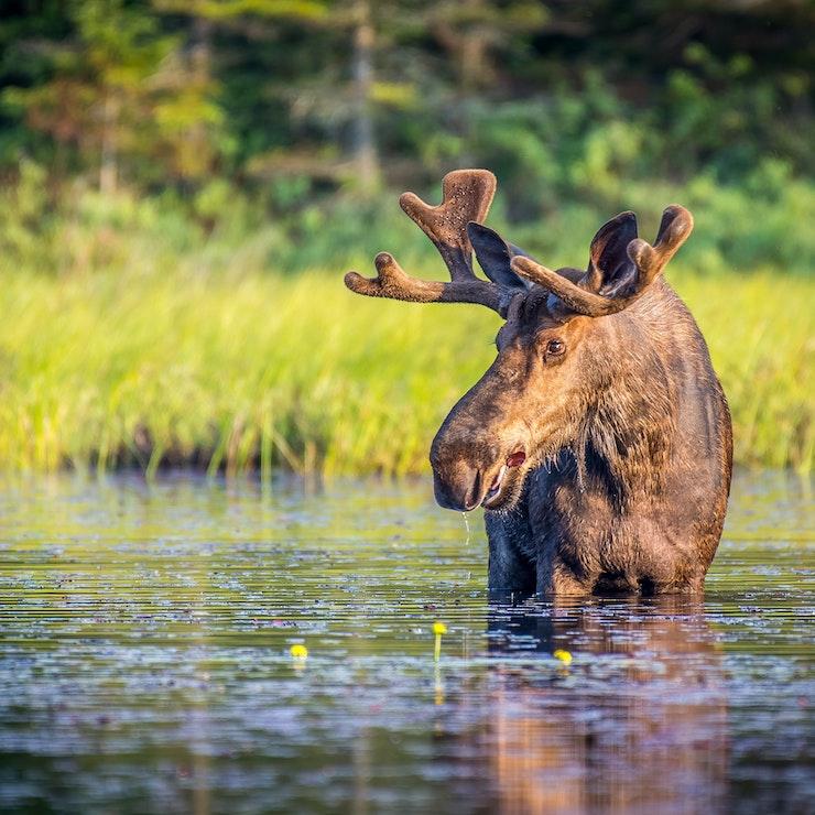 Eland in Algonquin Park Ontario
