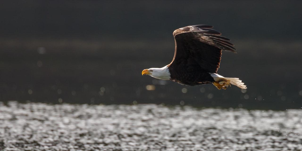 Eagle Vancouver Island