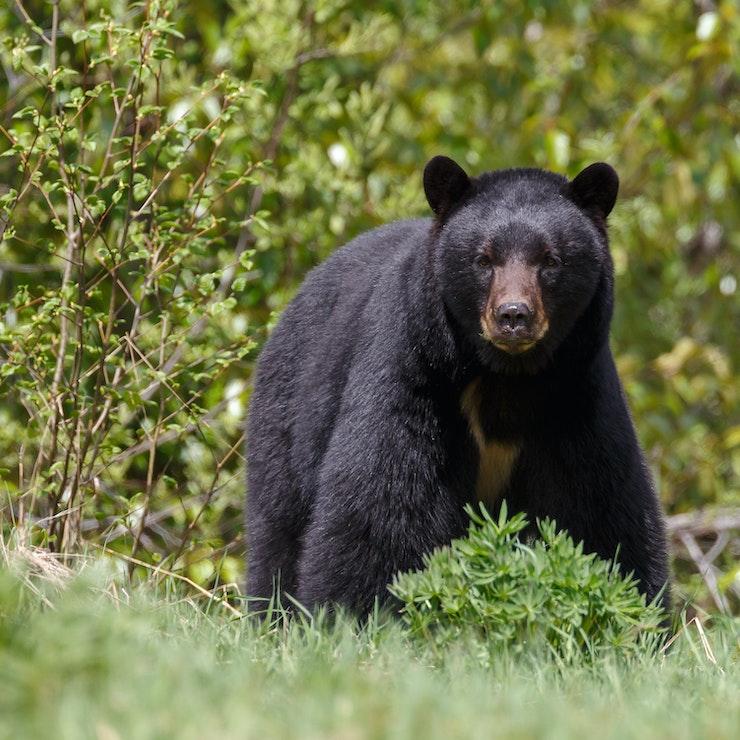 Zwarte beer, Clearwater