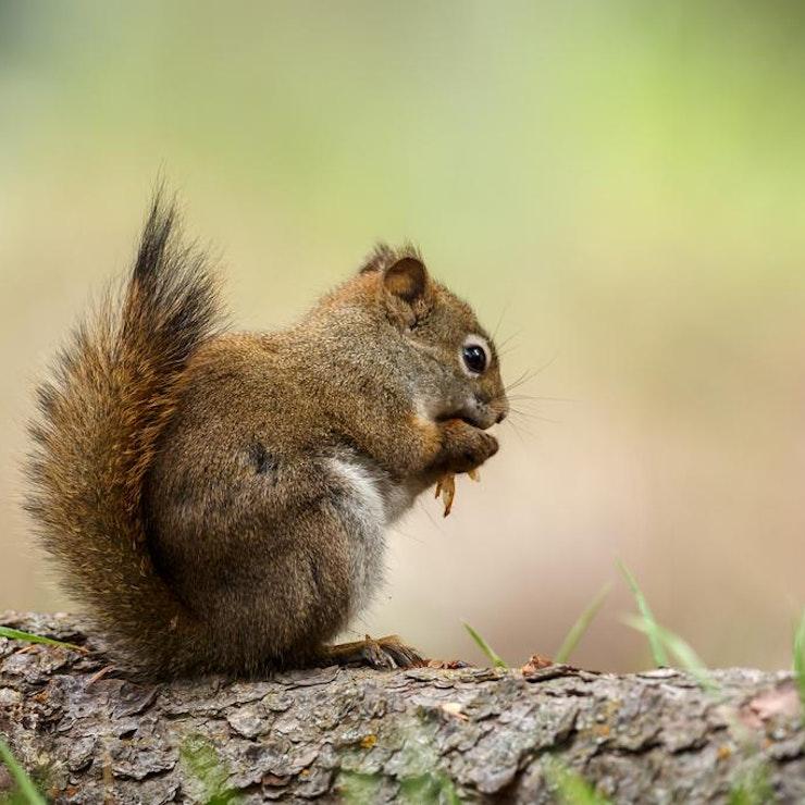 Eekhoorn, foto: Menno Schaefer