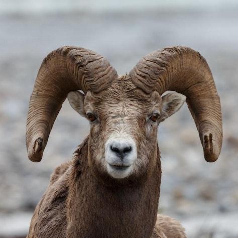 Big horn sheep Canada