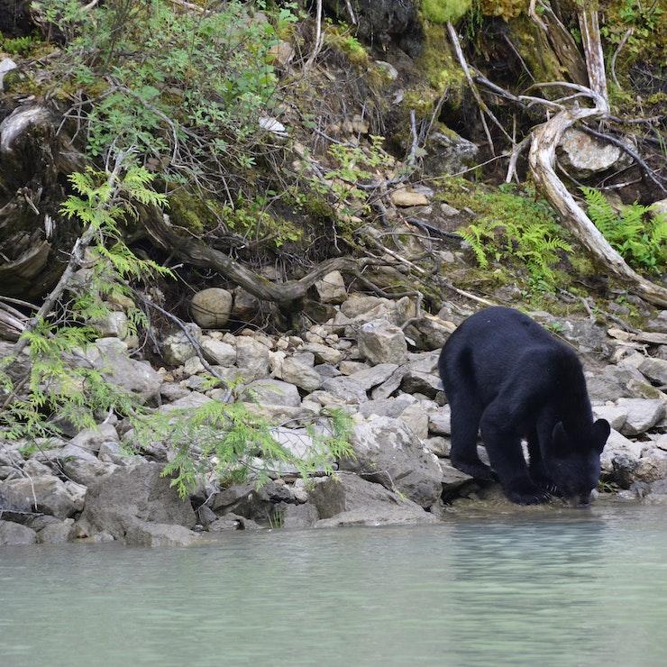 Vakantie naar West-Canada Blue River bear