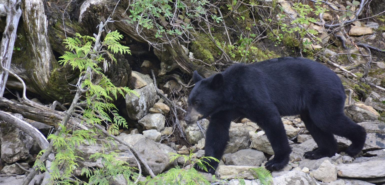 Zwarte beer spotten