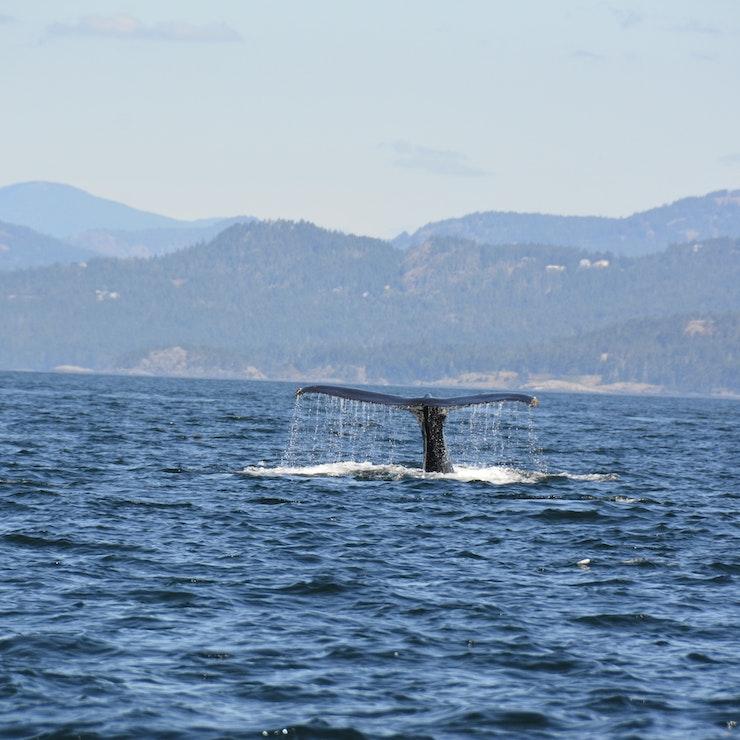 Walvis spotten Victoria inside passage canada ferry