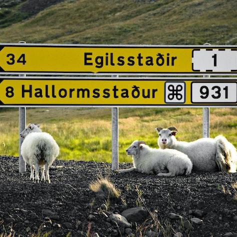 Verkeersbord schapen Egilsstaðir