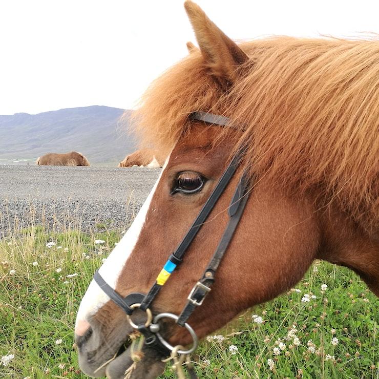 IJsland te paard groepsreis