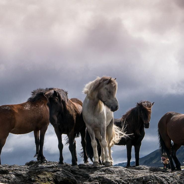 Paardrijdvakantie op IJsland