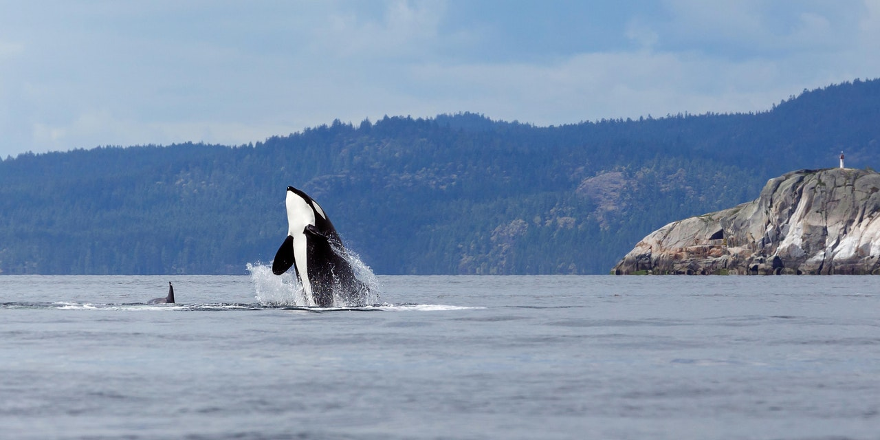 Orka Vancouver Island