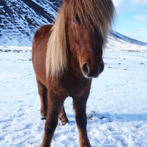 IJslands paard, sneeuw