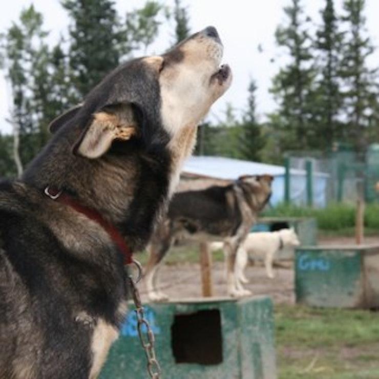 Sledehonden Alaska