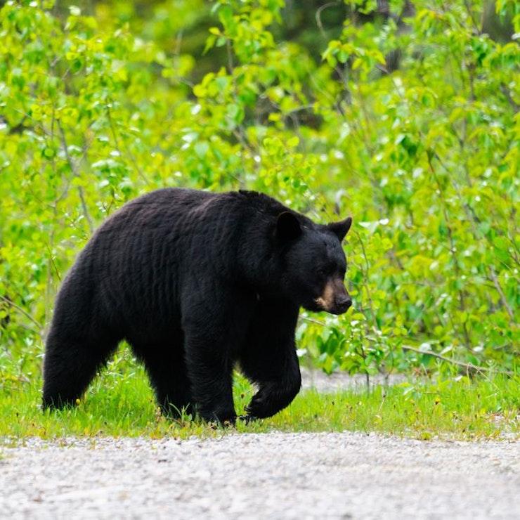 Zwarte beer Jasper Nationaal Park