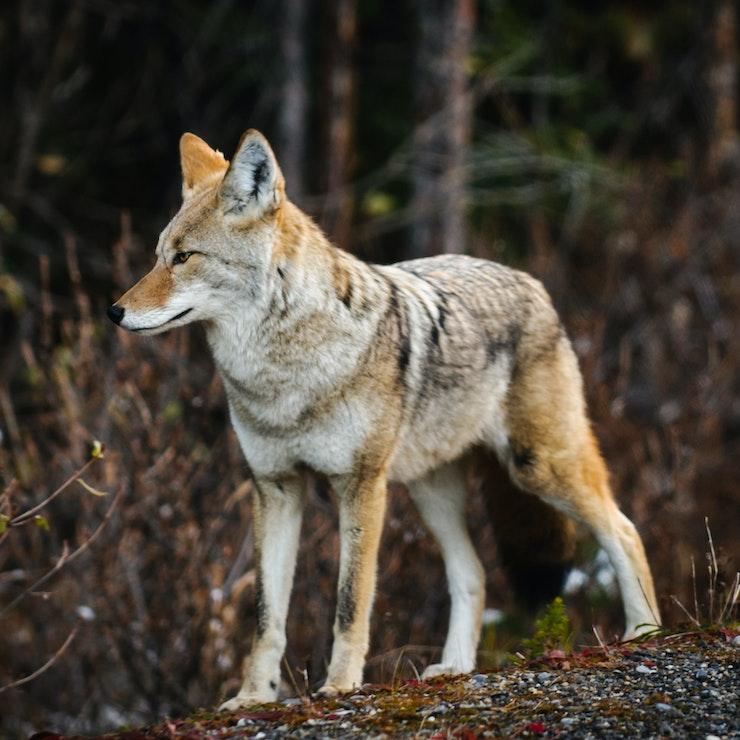 Wilde coyote, Kananaskis Country