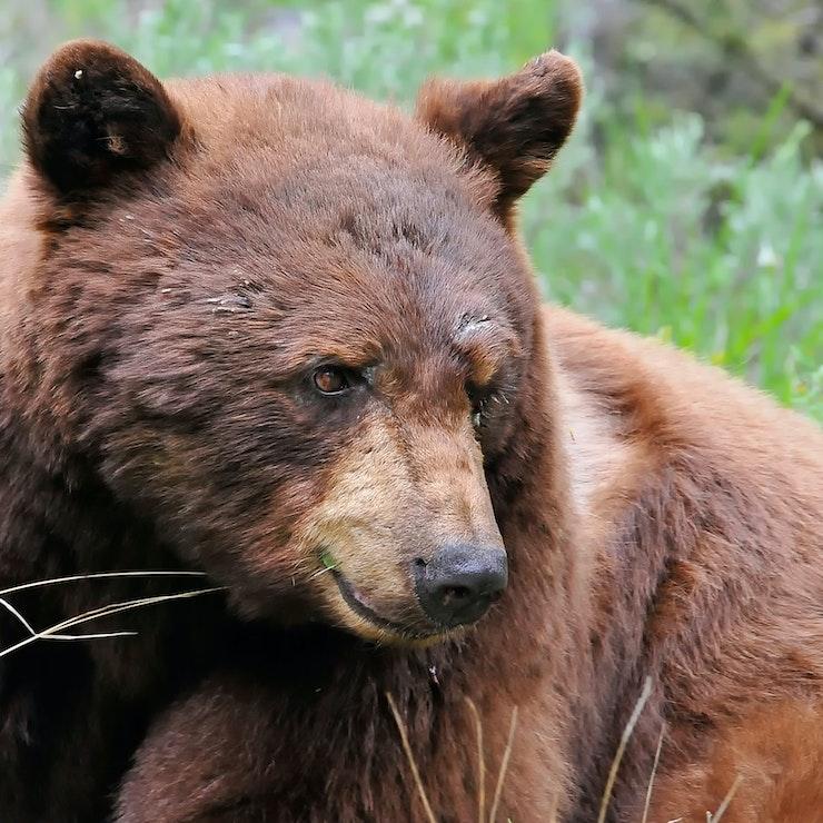 Kaneel zwarte beer, Yellowstone Nationaal Park