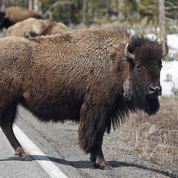 Bizon, Yellowstone Nationaal Park