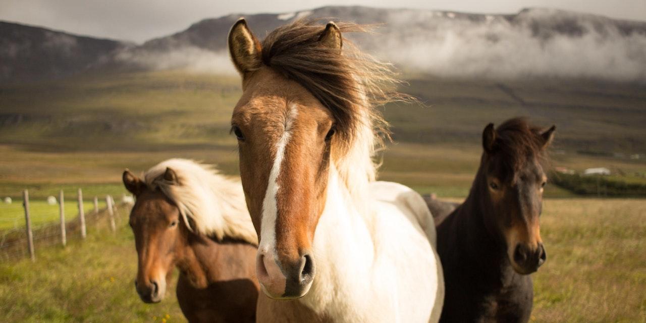 Paarden IJsland