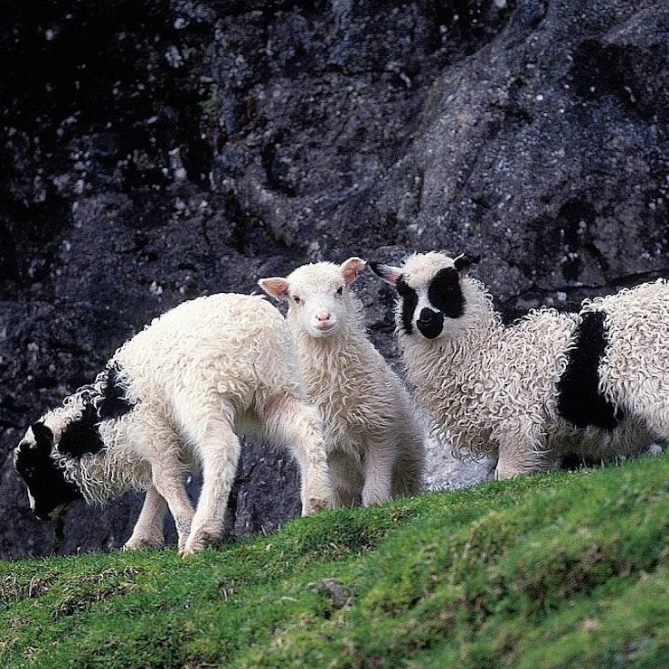 Schapen op de Faeröer