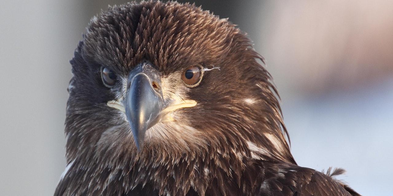 Jonge adelaar Newfoundland
