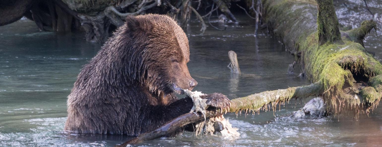 Zalmtrek, Grizzly beer, Foto: Robert Lefevre