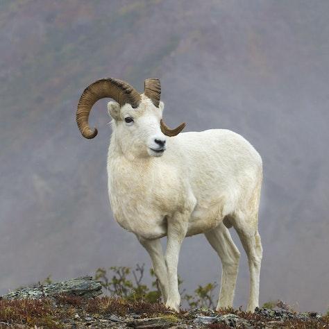 Dalls schaap, Denali Nationaal Park