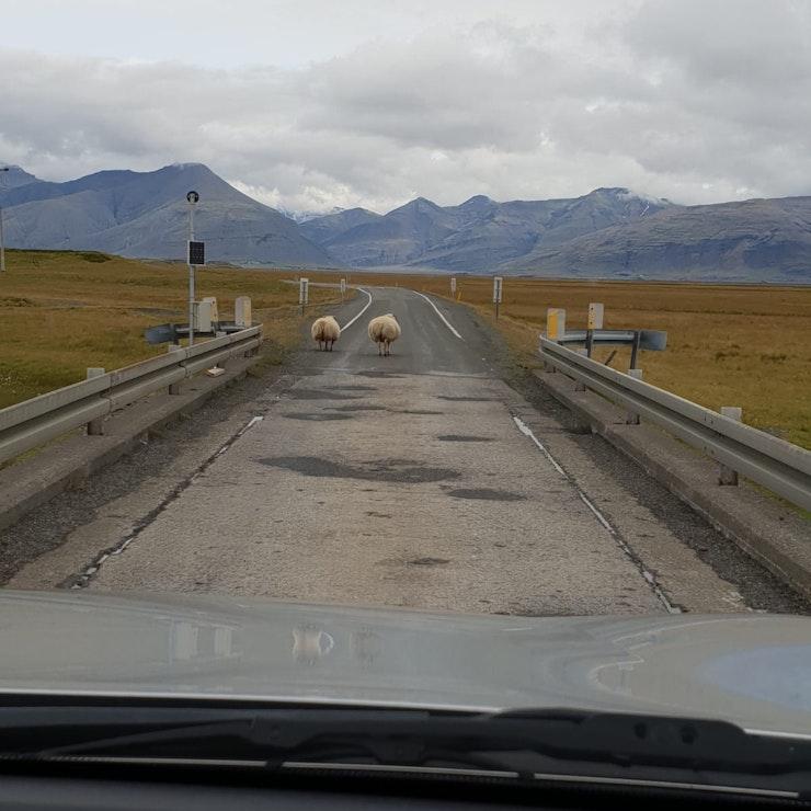 Schapen op de weg