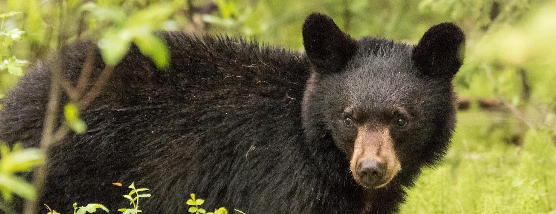 beren spotten canada