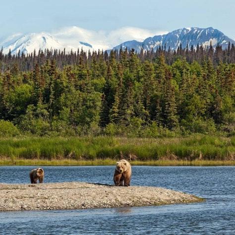 Bruine beren, Alaska