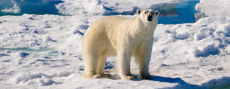IJsbeer op Spitsbergen