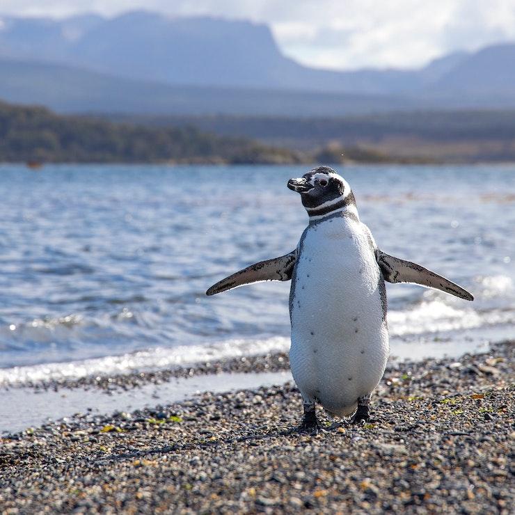Pinguin Ushuaia, Argentinië, autorondreis door Patagonië