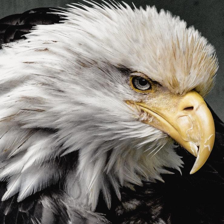 Eagle, Wrangell Alaska