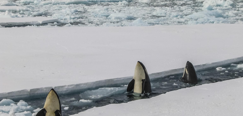 Orkas Antarctica, reis naar Antarctica