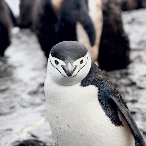 Pinguïn, Antarctica, rondreis Antarctica