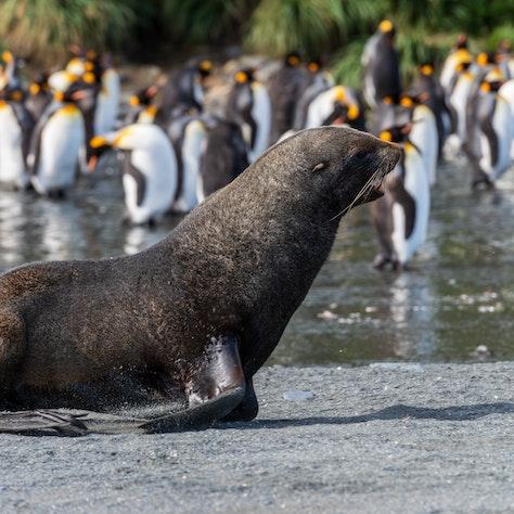 Zuid-Georgië wildleven, expeditiecruise naar Antarctica