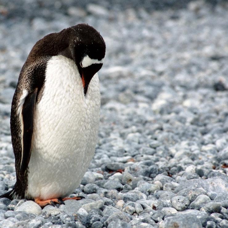 Pinguin Antarctica, reis naar Antarctica