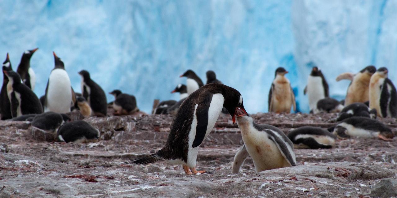 Pinguïns, Antarctica