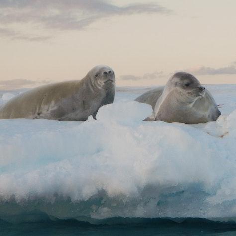 Zeehonden, Rondreis Antarctica
