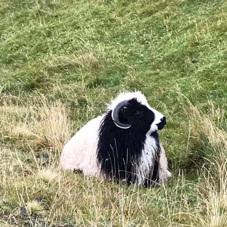 Faeröers schaap