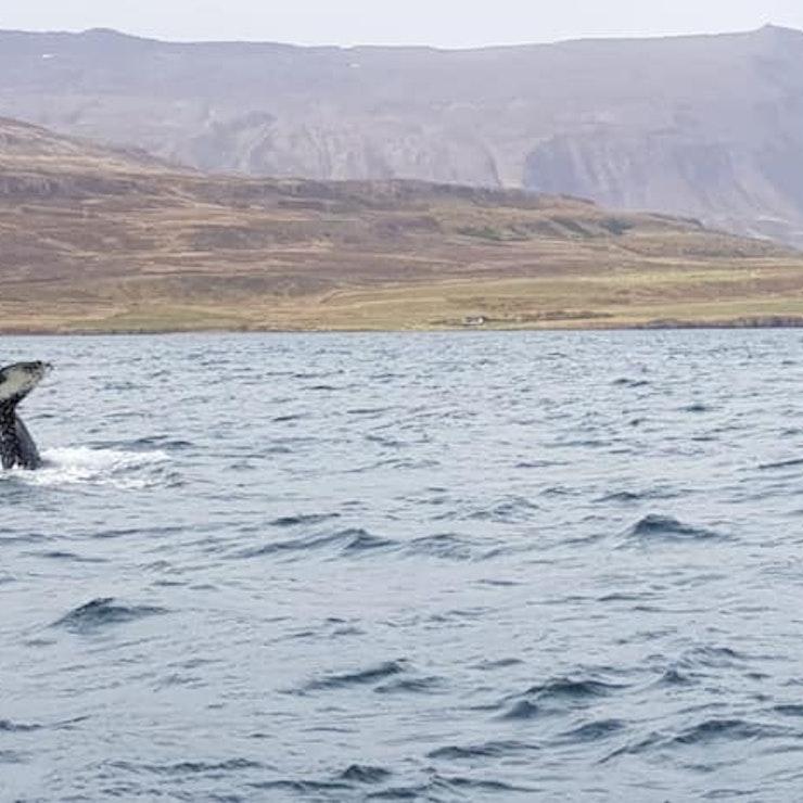 Walvissen spotten, Dalvík