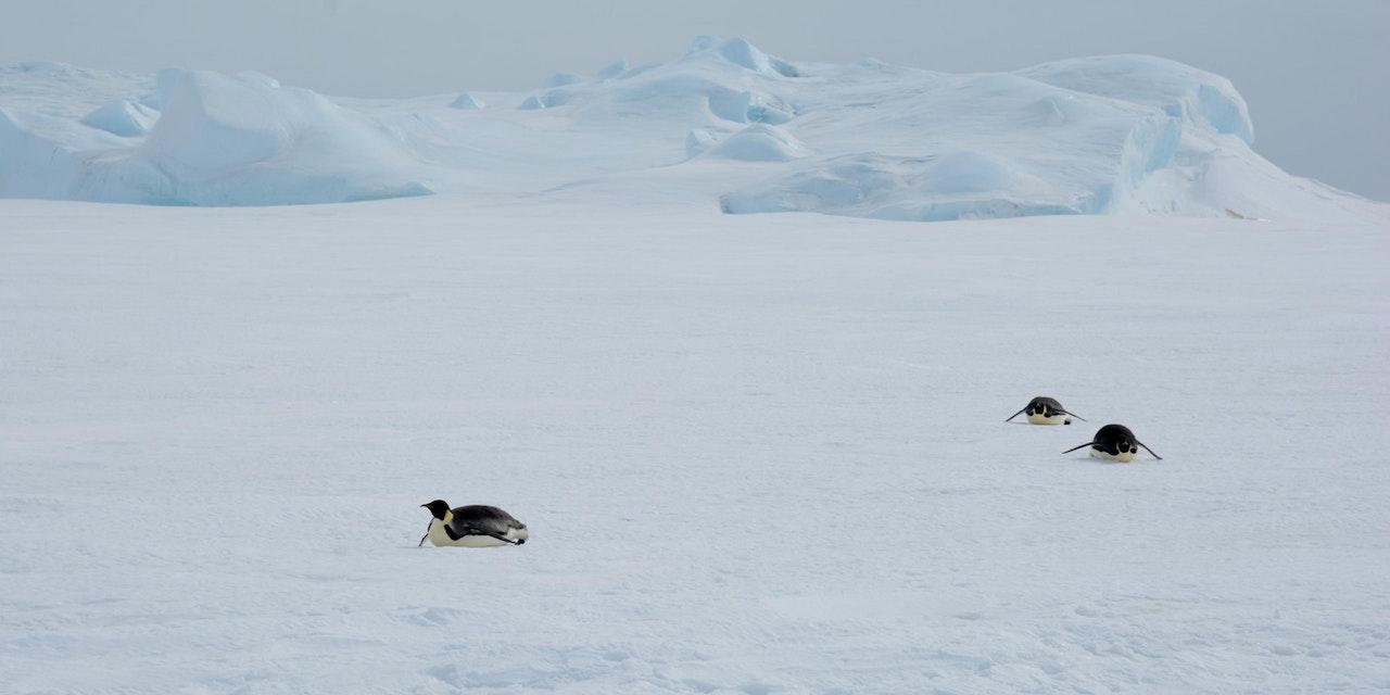 Keizerspinguïn, Antarctica