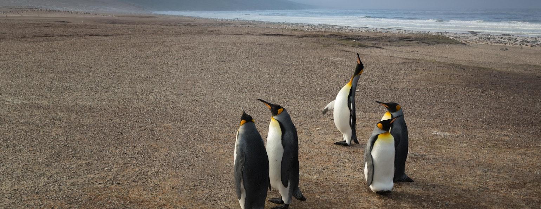 pinguïns, Falkland eilanden