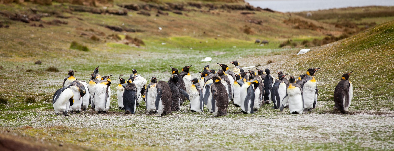 Koningspinguïns Falklands