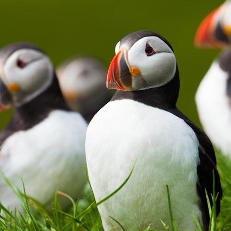 Papegaaiduikers, IJsland