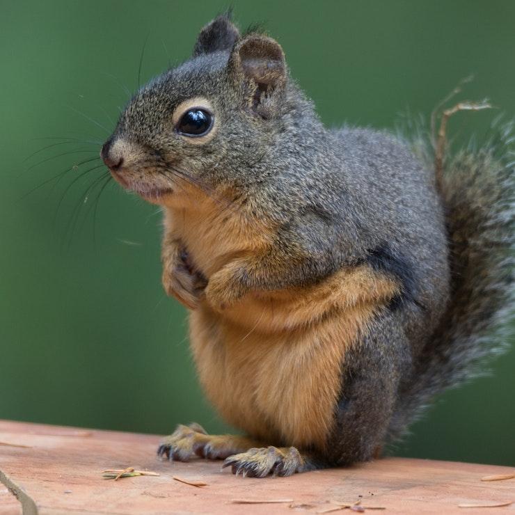 West-Canada eekhoorn