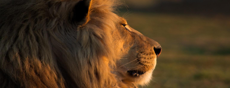 Leeuw, Kruger Park